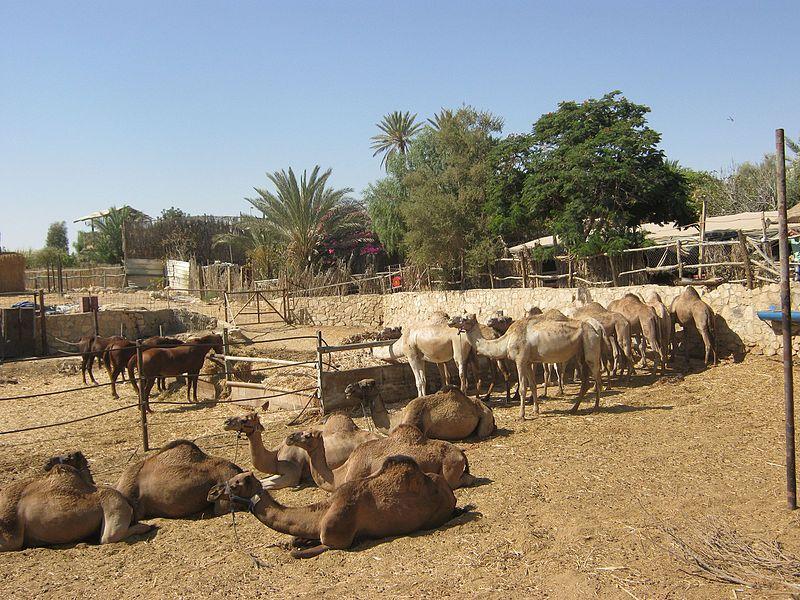 גמלים בערד