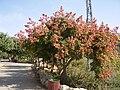 PikiWiki Israel 5534 koelreuteria bippnata.jpg