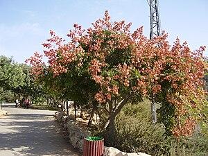 Koelreuteria bipinnata - Image: Piki Wiki Israel 5534 koelreuteria bippnata