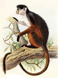 Pennants colobus Species of Old World monkey