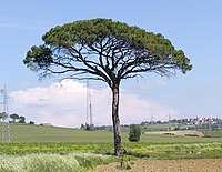 Tree With Flatter Crown In Tuscany Italy