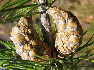 Jack pine - Closed, mature cones