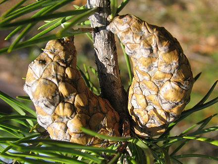 Closed, mature cones Pinus banksiana closed cones.jpg