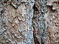 Pinus benthamiana 08098.JPG