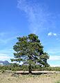 Pinus brutia - Kızılçam 04.JPG