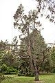 Pinus edulis, 2016-02-04.jpg