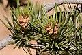 Pinus edulis - Flickr - aspidoscelis (4).jpg