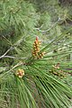 Pinus halepensis kz14 (Morocco).jpg
