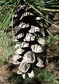 Pinus peuce - Stanley M. Rowe Arboretum - DSC03381.JPG