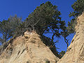 Pinus radiata Año Nuevo.jpg