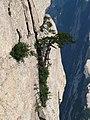 Pinus tabuliformis Hua Shan7.jpg