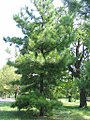 Pinus taeda 1zz.jpg