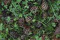 Pinus uncinata - cones - Flickr - S. Rae.jpg