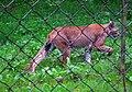 Pirschender Luchs Wildpark Alte Fasanerie Juni 2012.JPG