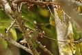 Plain Flowerpecker, Mizoram.jpg