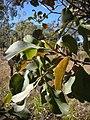 Planchonia careya foliage.jpg