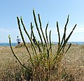 Plant on Isle of Purbeck 2.jpg