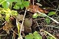 Plantae sp. (26672444956).jpg
