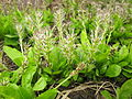 Plantago hakusanensis 3.JPG