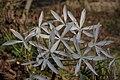 Plants Crinum Lily IMG 8224.jpg