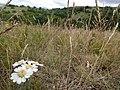 Plants from Ostritsa (20).JPG