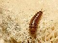 Pleasing Fungus Beetle Larva (29032515242).jpg
