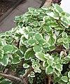 Plectranthus madagascariensis cv Variegatus.jpg