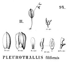 Pleurothallis filiformis - cutout from Flora Brasiliensis 3-4-94 fig III.jpg