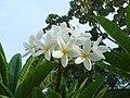 Plumeria acutifolia.JPG