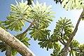 Plumeria rubra 6zz.jpg