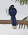 Plush-crested Jay, Cyanocorax chrysops - Flickr - Lip Kee.jpg