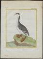 Podiceps auritus - 1700-1880 - Print - Iconographia Zoologica - Special Collections University of Amsterdam - UBA01 IZ17800075.tif
