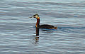 Podiceps major (8564312344).jpg