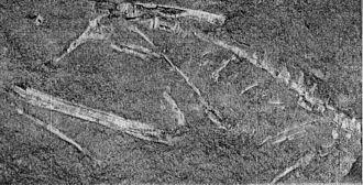 Podokesaurus - Holotype specimen