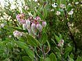 Pointleaf Manzanita - Flickr - treegrow.jpg