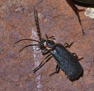 <i>Polemius</i> Genus of beetles