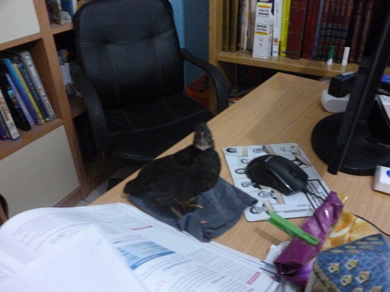File:Pollito negro.jpg