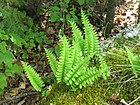 Polypodium virgnianum 2-eheep (5098039438).jpg