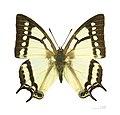 Polyura narcaeus MHNT.jpg