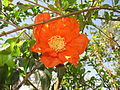 Pomegranate - മാതളനാരകം 04.JPG