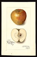 Pomological Watercolor POM00001871.jpg