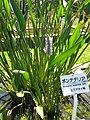Pontederia lanceolata2.jpg