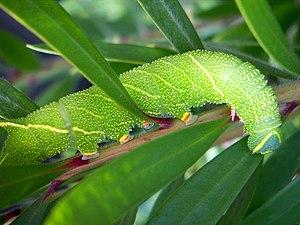 Moth - Poplar hawk-moth caterpillar<br>''Laothoe populi''