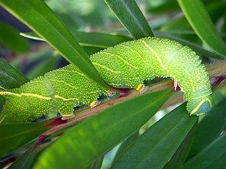 Moth - Poplar hawk-moth caterpillar (Laothoe populi)