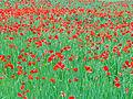 Poppies in Spain (2579574833).jpg
