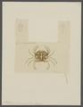 Portunus marmoreus - - Print - Iconographia Zoologica - Special Collections University of Amsterdam - UBAINV0274 094 19 0005.tif