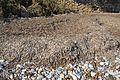 Posidònia seca a la platja de la Solsida, Altea.JPG
