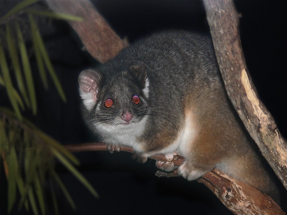 The average litter size of a Common ringtail possum is 1