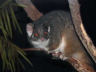 Possum Ring-tailed444.jpg