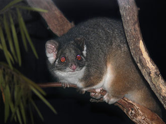 Common ringtail possum - Image: Possum Ring tailed 444